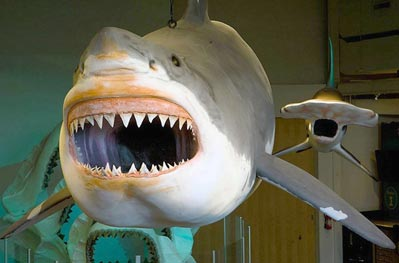Megaldon Shark in New Jersey