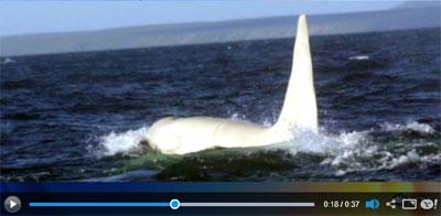 Albino Killer Whale Spotted